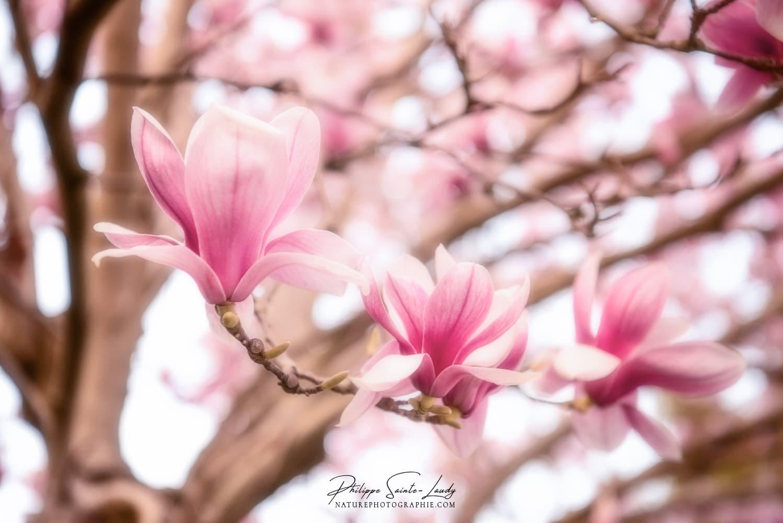 M As in Magnolias