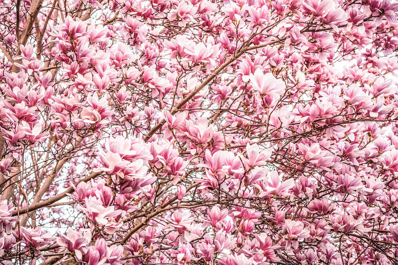 Magnolias of March