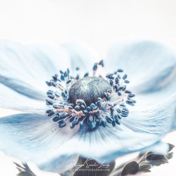 Wind-Flower