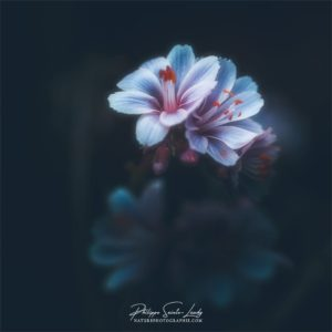 Photo de Lewisia