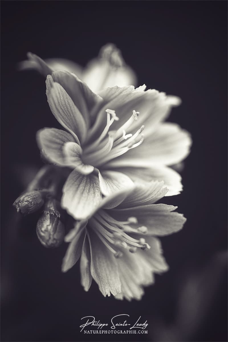 Lewisia en noir et blanc