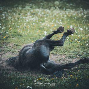 Un cheval se roule par terre