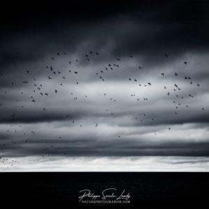Un vol d'oiseaux dans un ciel nuageux au-dessus du golfe de Finlande - Estonie