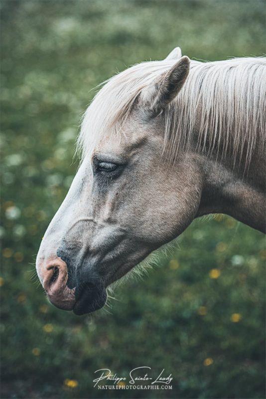 Portrait de cheval blanc