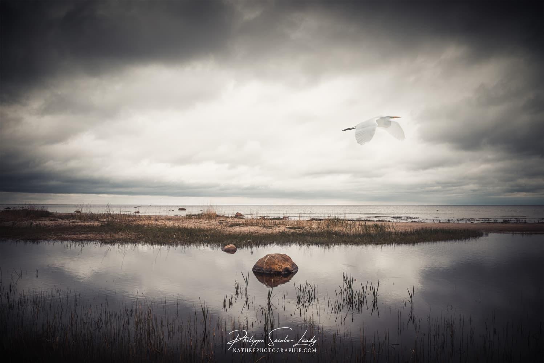 Héron blanc vole au-dessus des marais en Estonie