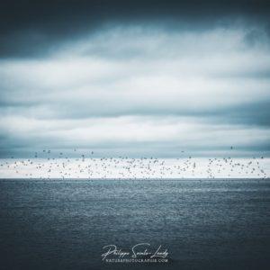 Un vol d'oiseaux dans le golfe de Finlande