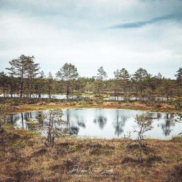 Les marais du parc de Laheema en Estonie