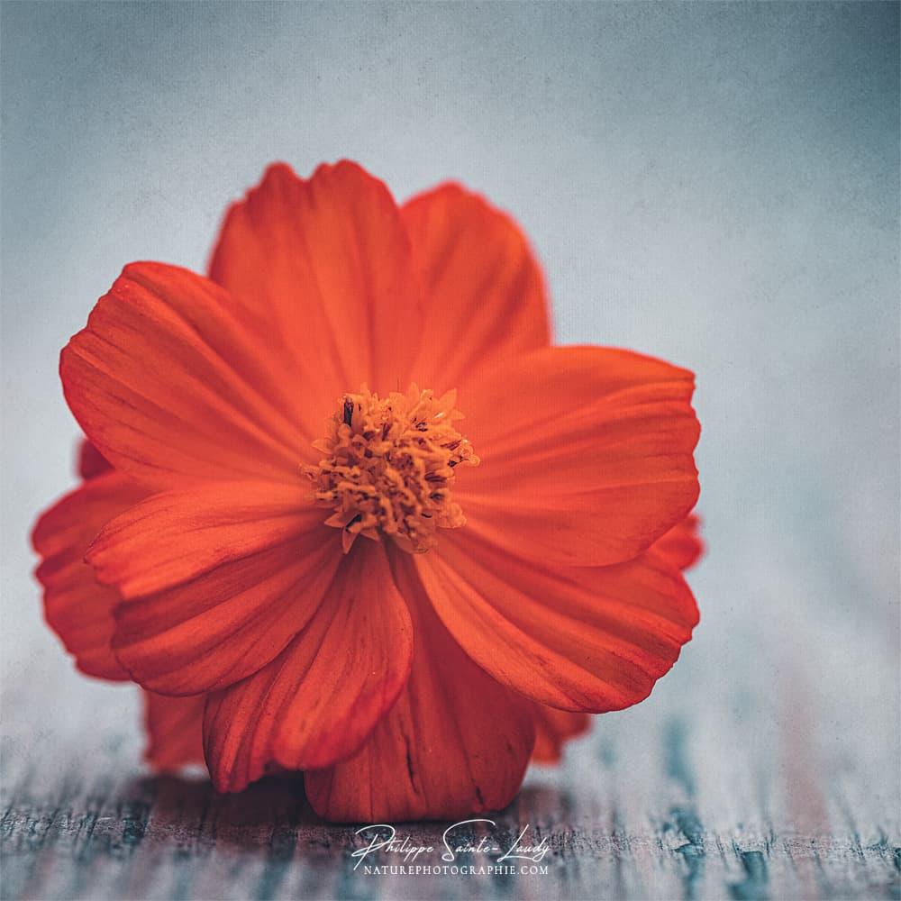 Macrophotographie sur une cosmos orange