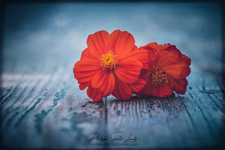 Fleurs orange sur une table en bois
