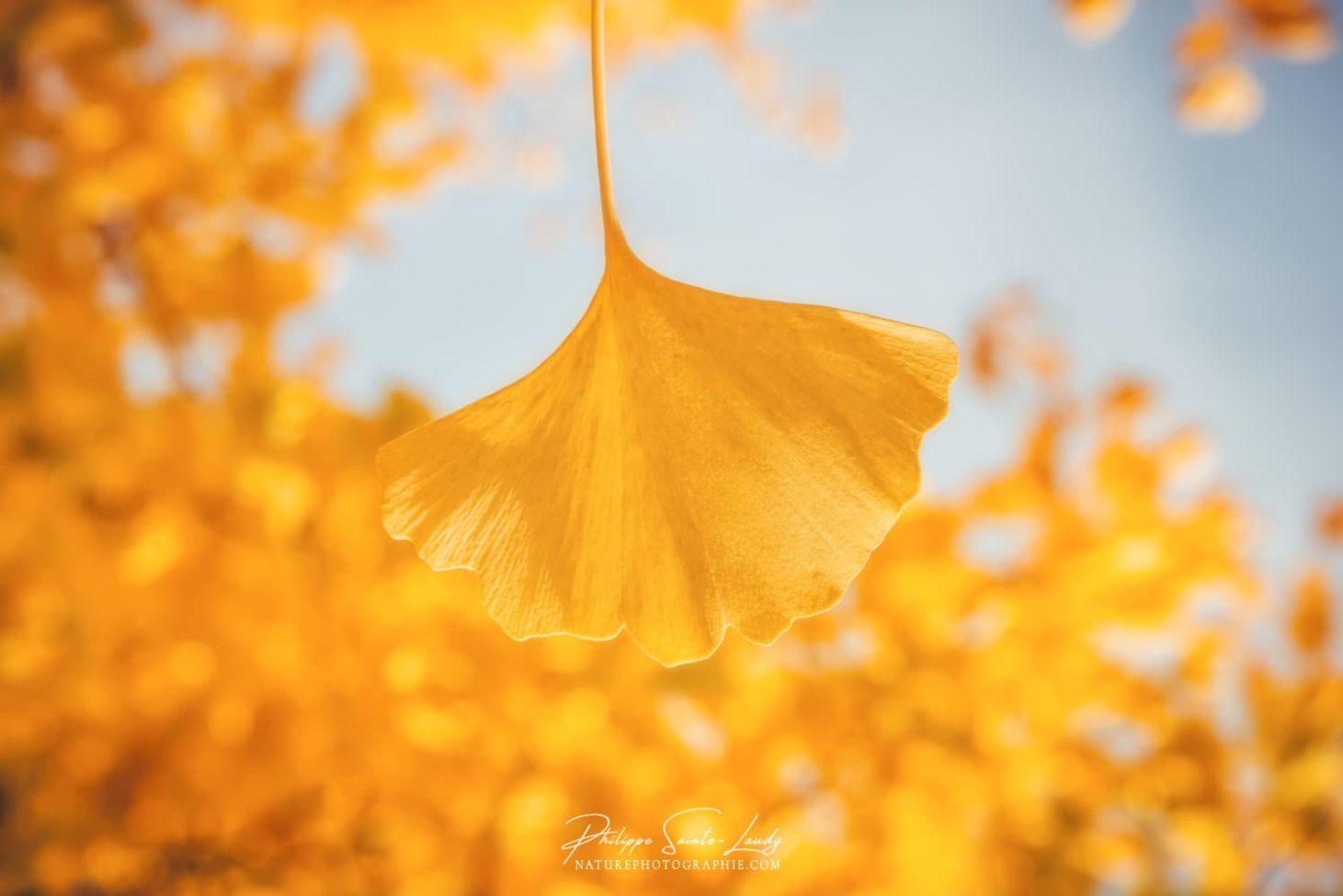 Feuille de ginkgo jaune dorée