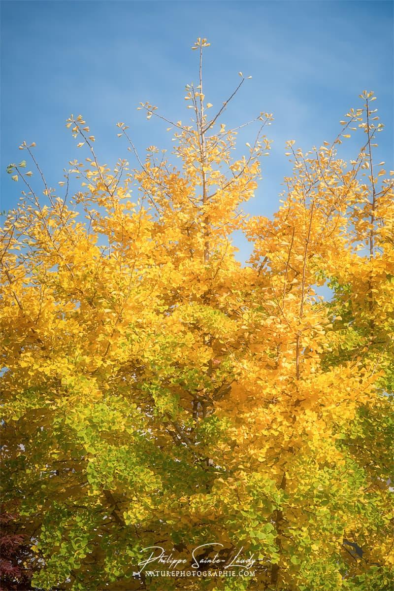 Un ginkgo biloba qui prend ses couleurs d'automne