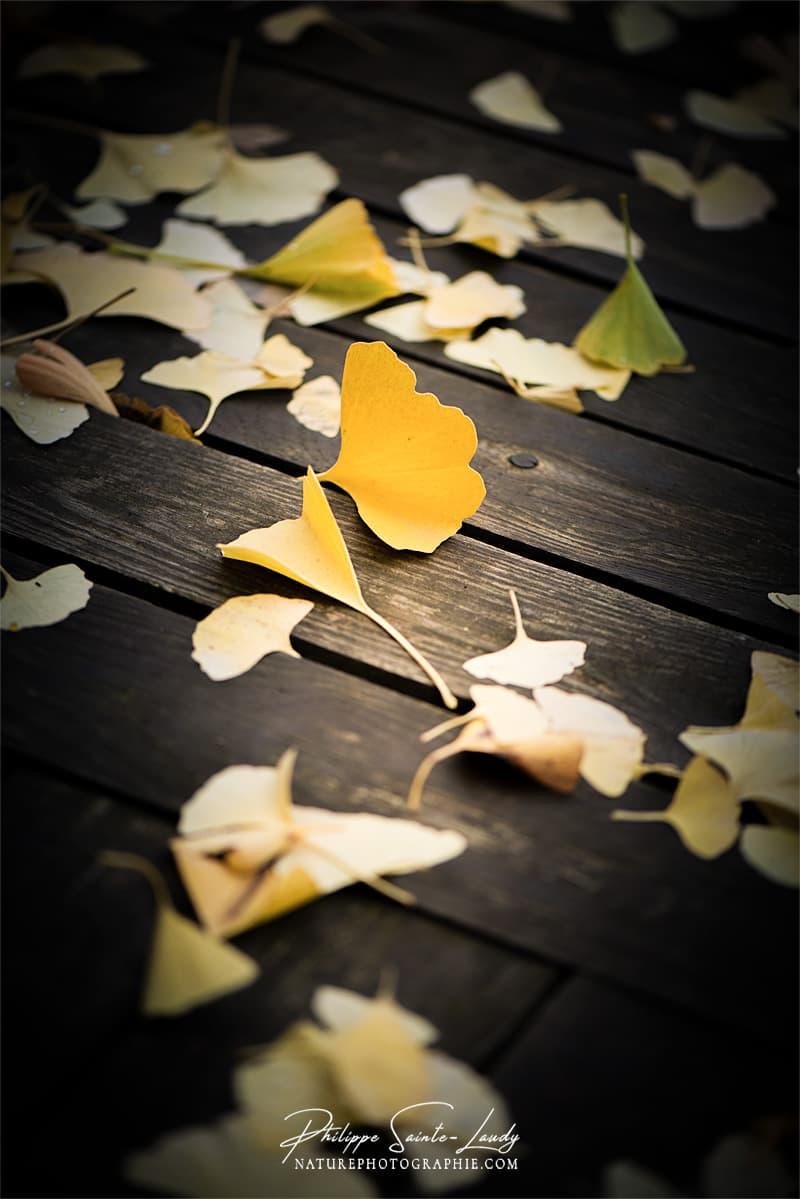 Une feuille jaune tombée d'un ginkgo biloba
