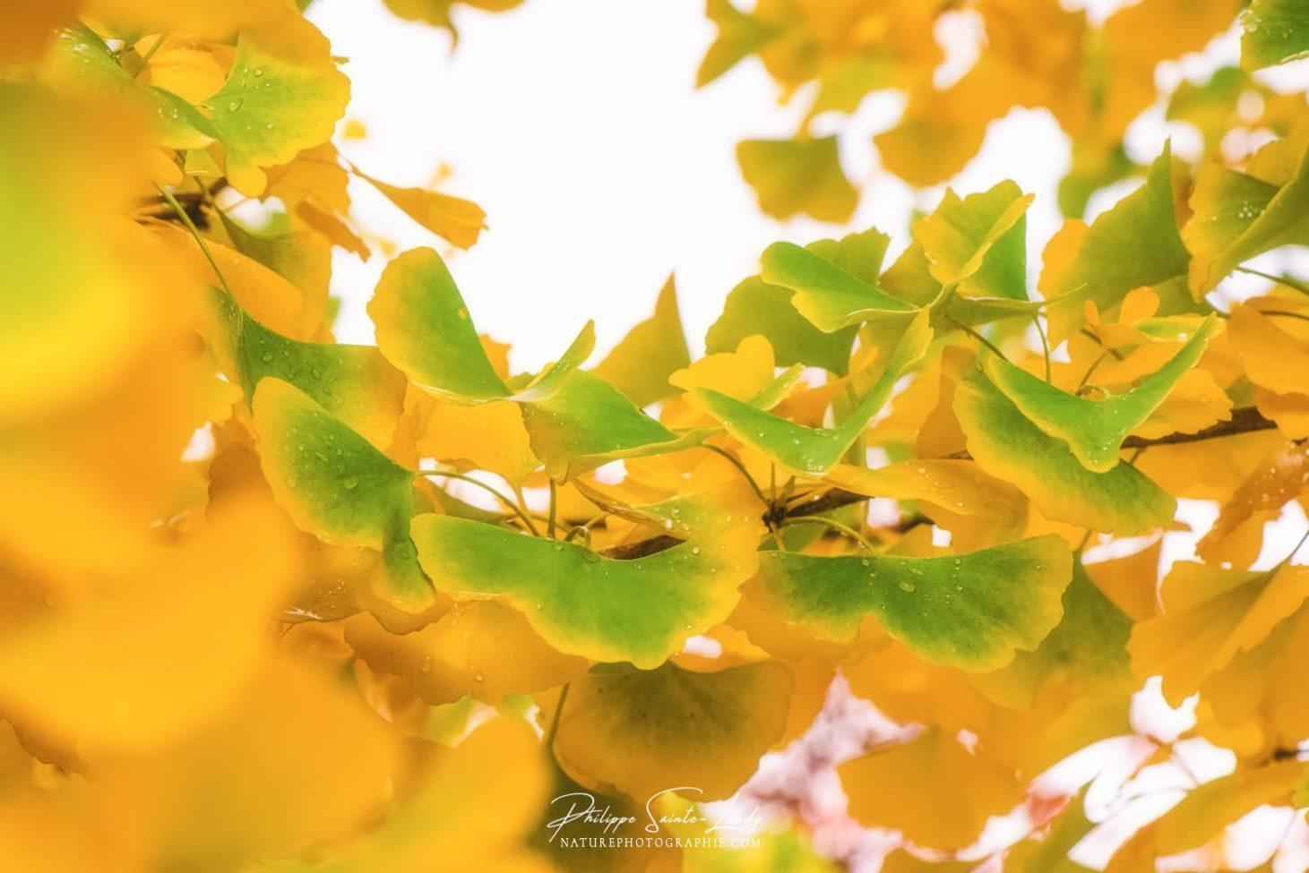 Des feuilles de ginkgo qui ressemblent à des papillons