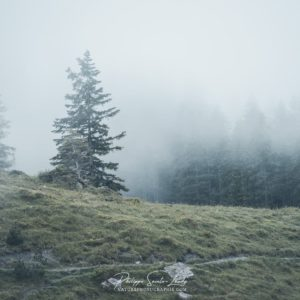 Sapins dans brouillard