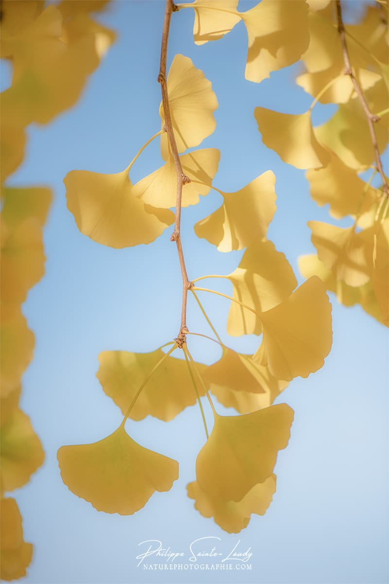 Des feuilles très douces sur un ginkgo