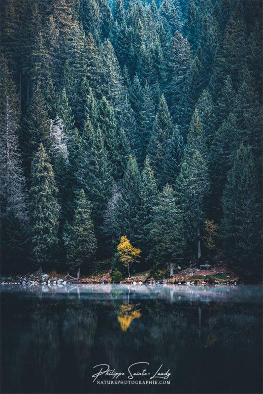 Un arbre jaune au milieu de sapins au Lac Vert