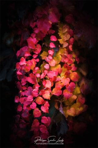 Lierre rouge en automne