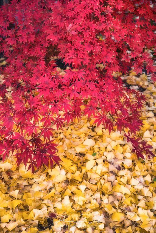 Des feuilles de ginkgo et d'érable