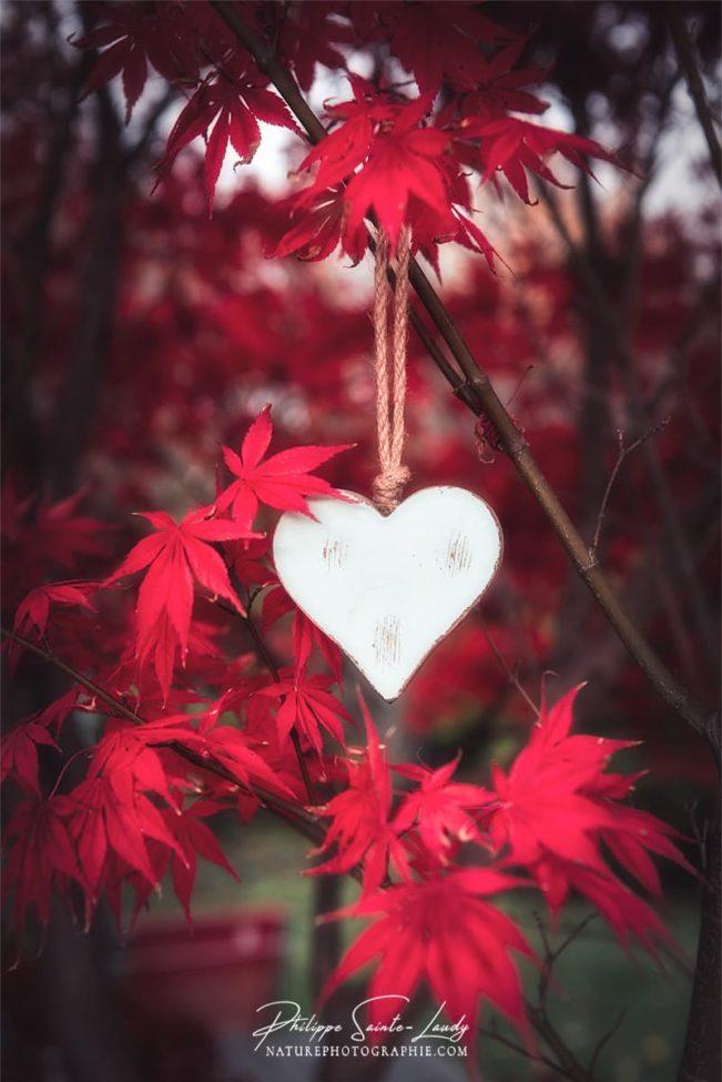 Un coeur en bois dans un érable japonais rouge