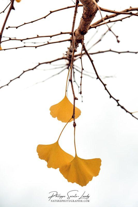 Feuilles de ginkgo à la fin de l'automne