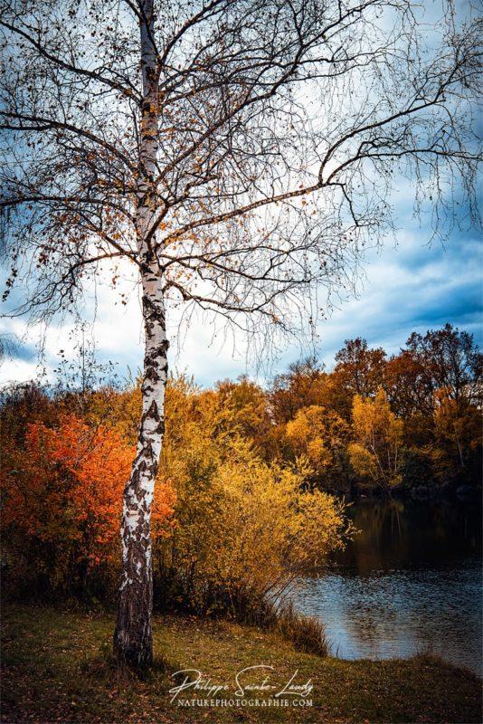 Un bouleau en automne au bord de l'eau