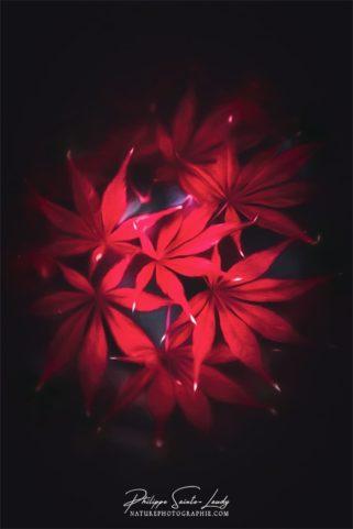 Feuilles rouge d'érable japonais en paintographie