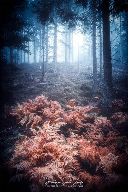 Fougères en forêt