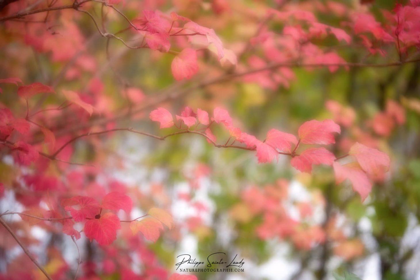 Feuilles roses sur un arbre en automne