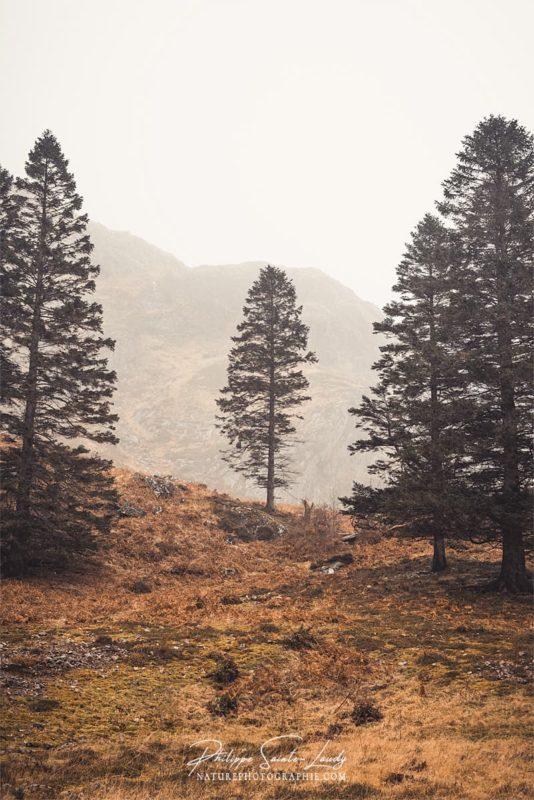 Sapins dans les Highlands