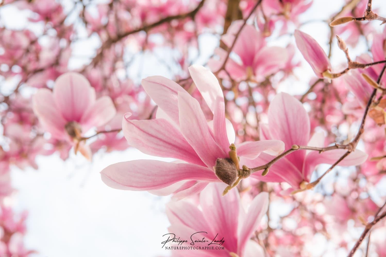 Magnolias en gros plan