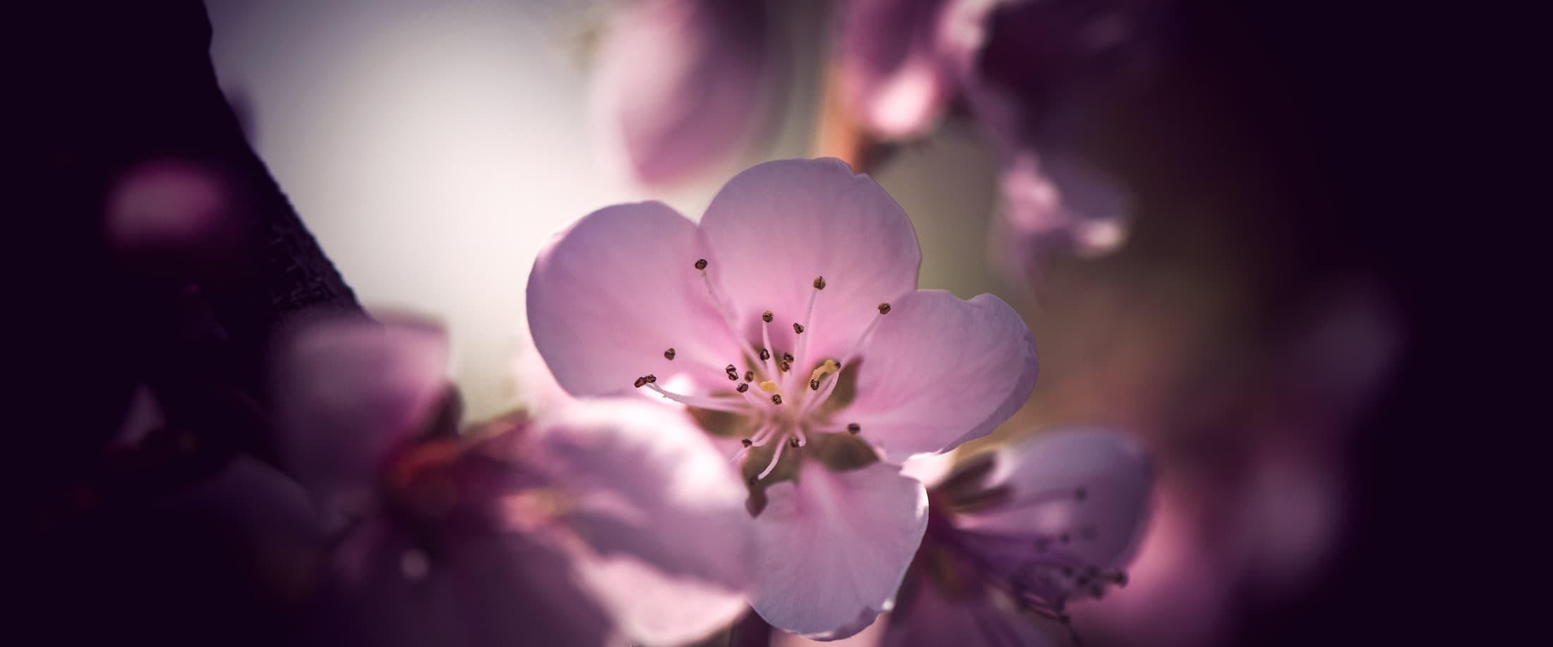 Macro de fleur de pêcher au printemps