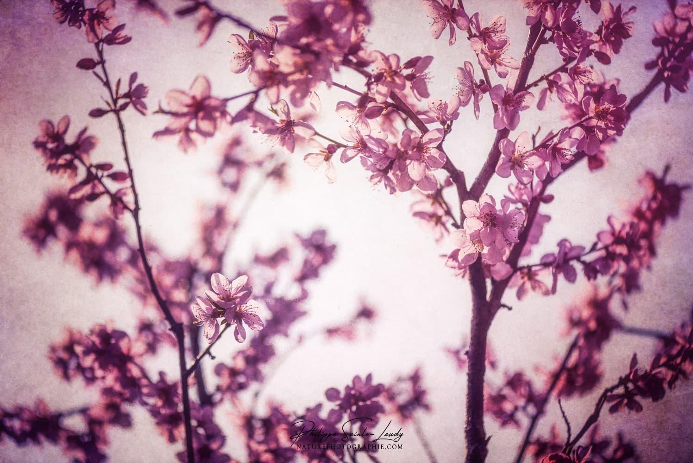 Pêcher en fleurs