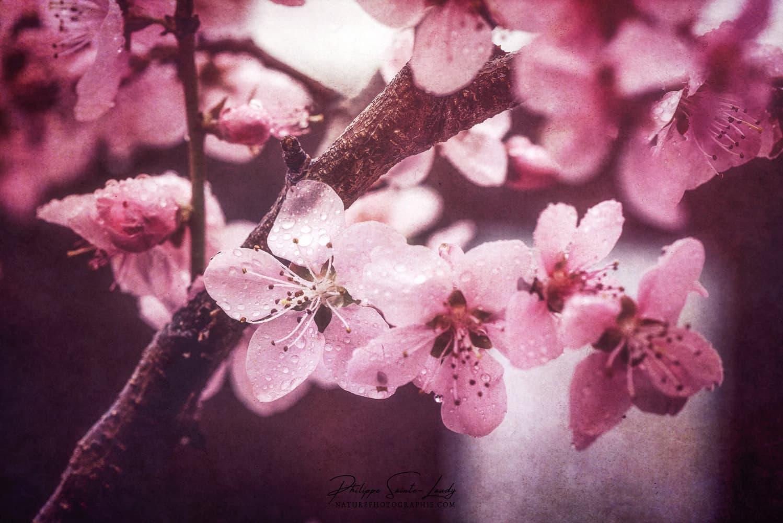 Des fleurs de pêcher au printemps