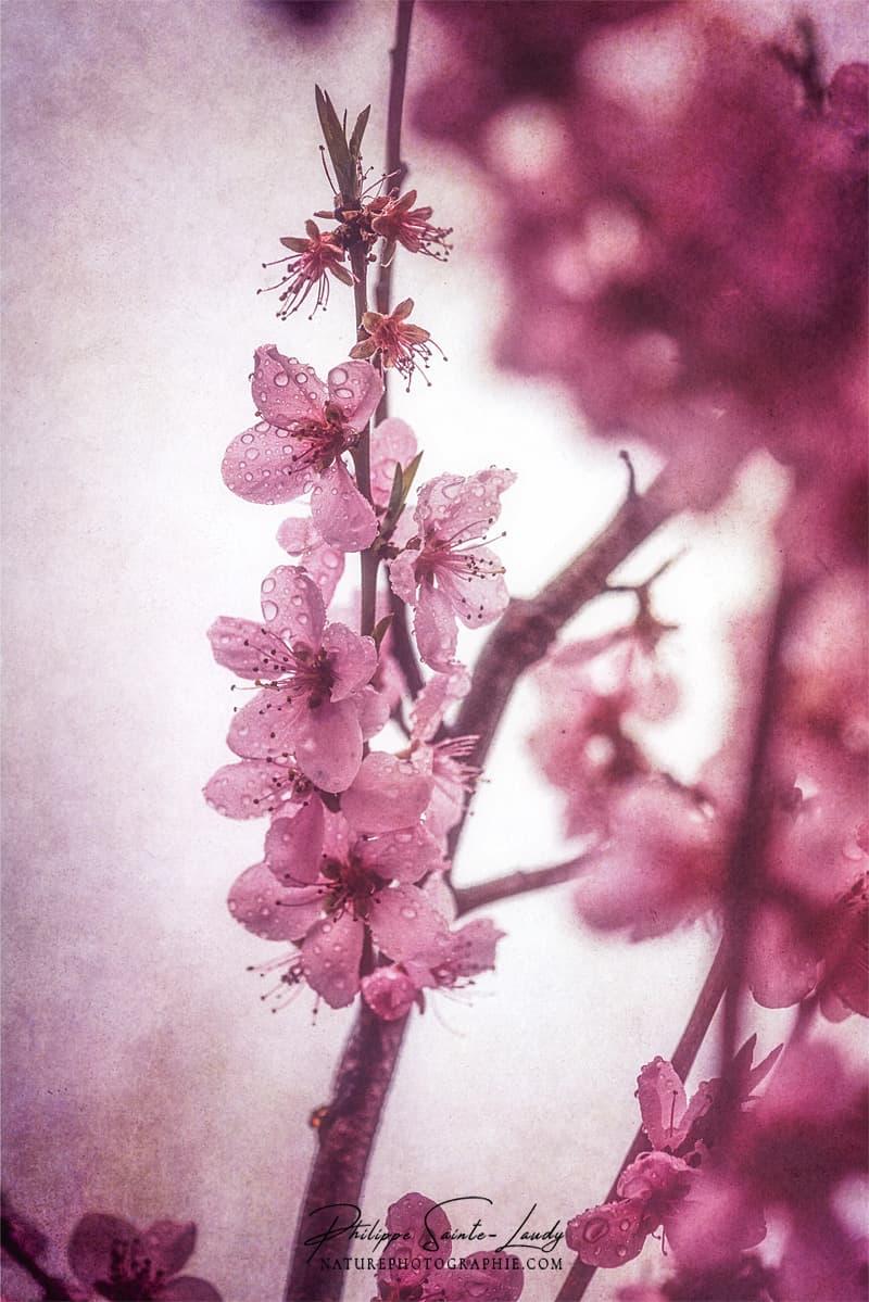 Fleurs de pêcher rose