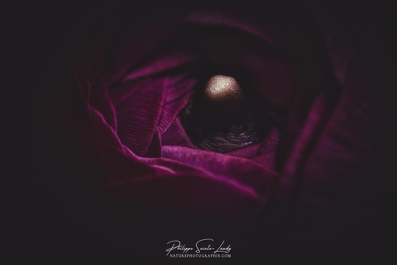 Renoncule violet