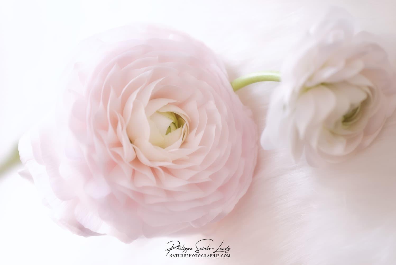 Renoncules Rose.