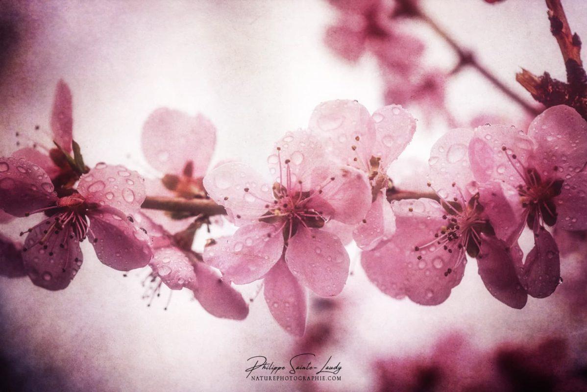 Fleurs roses de pêcher au printemps