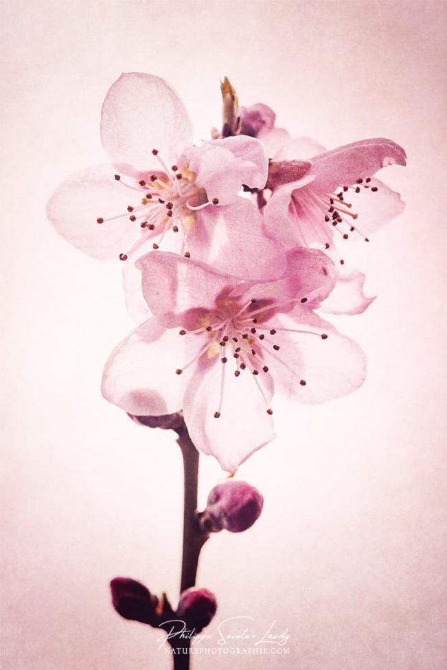 Texture rose sur fleurs de pêcher
