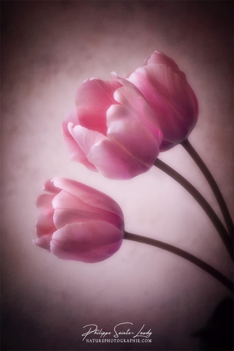 Portrait de tulipes
