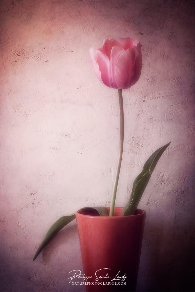 Une tulipe dans un pot
