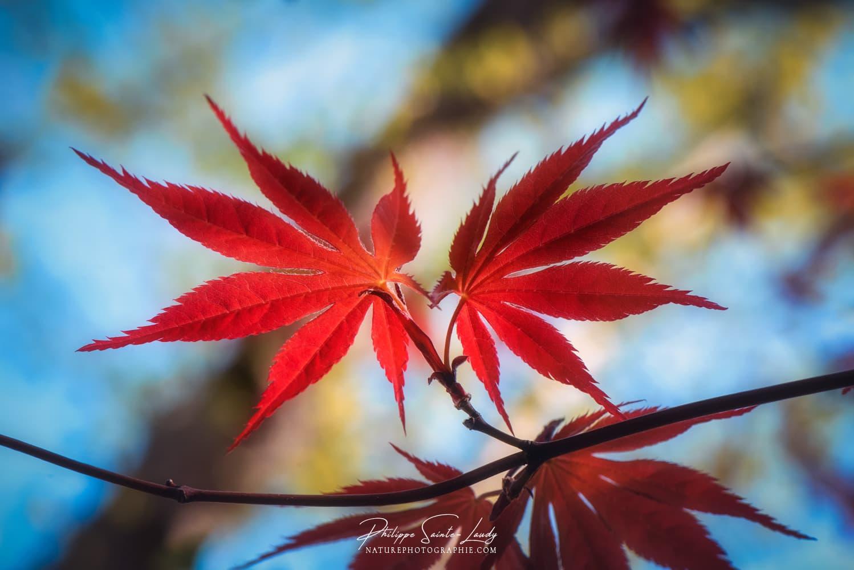 Feuilles d'érable rouges du Japon