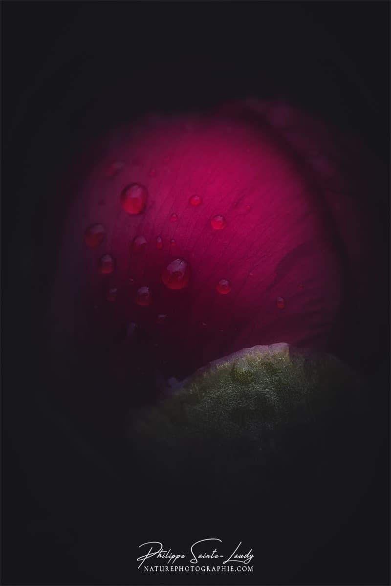 Gros plan sur une pivoine rouge