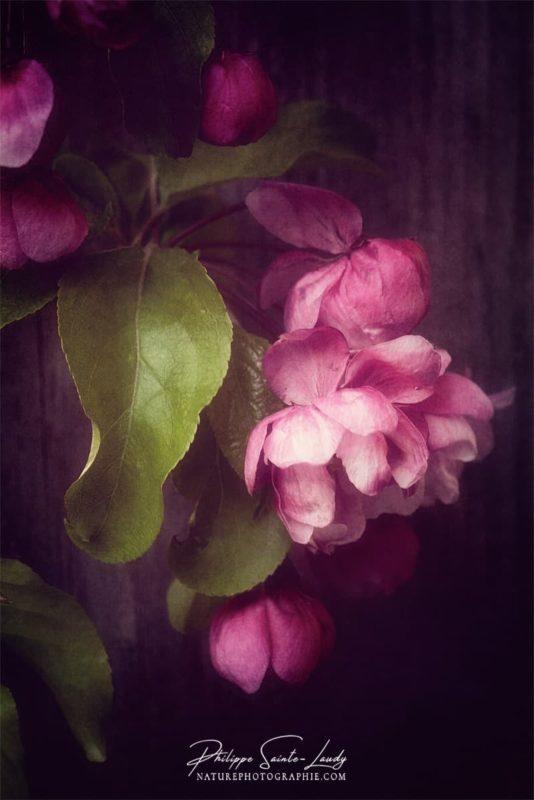 Une fleur de pommier japonais de profil