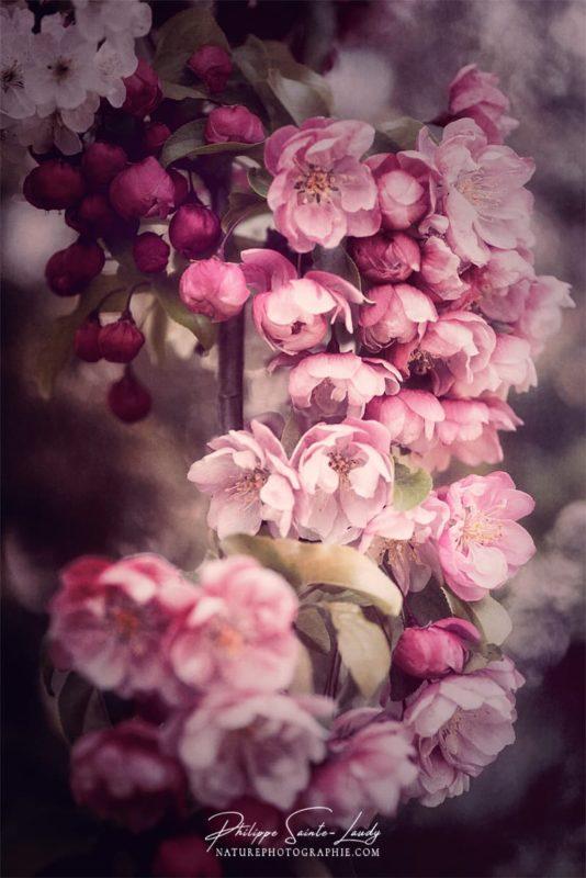 Bouquet de fleurs d'un pommier japonais