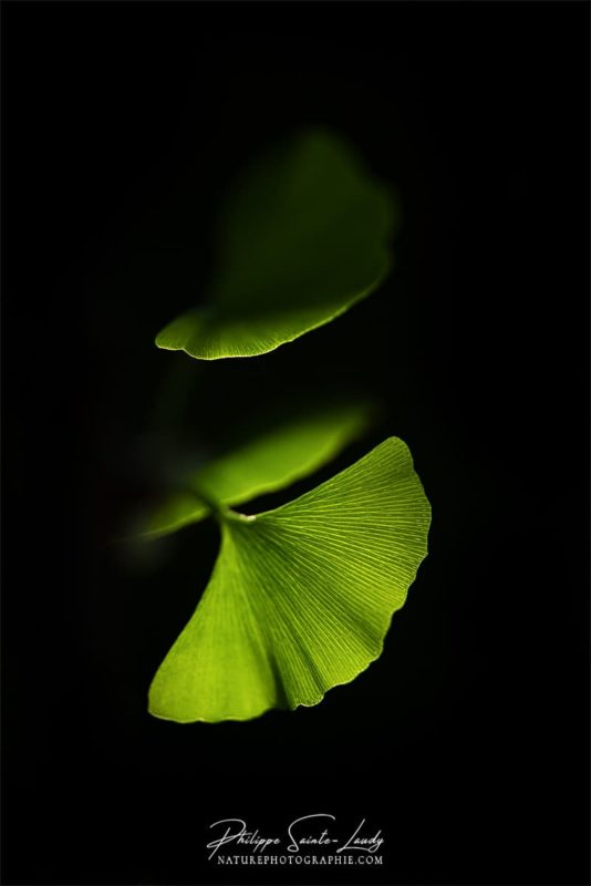 Des feuilles de ginkgo biloba dans l'ombre