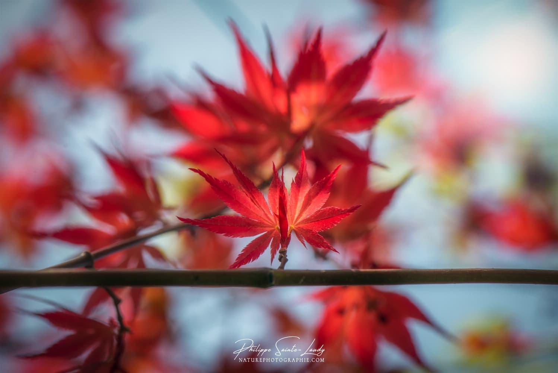 Le rouge vif d'une feuille d'érable