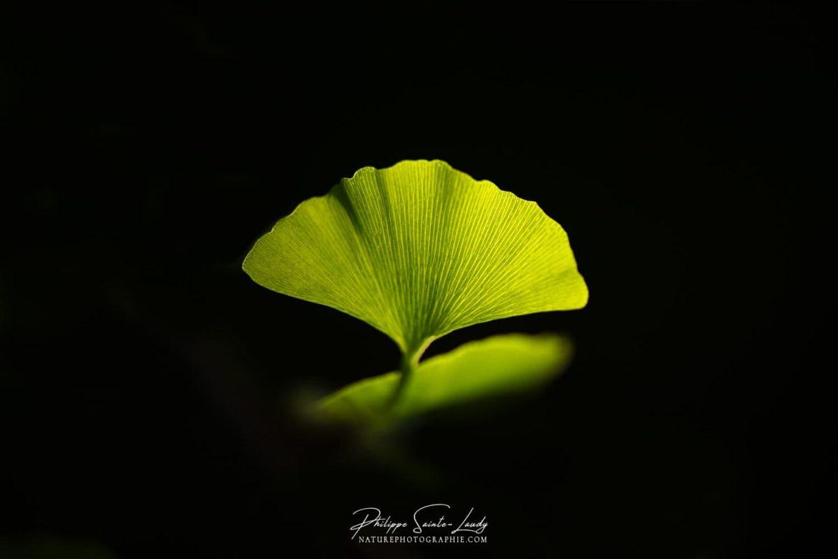 Délicate feuille verte de ginkgo
