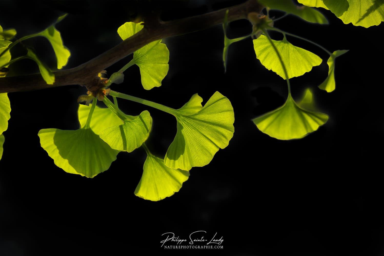 Branche de feuilles de ginkgo