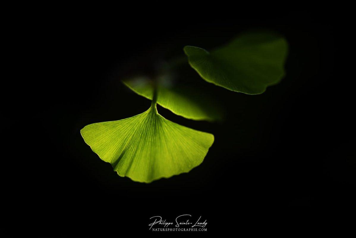 Photo de feuilles de ginkgo dans l'ombre