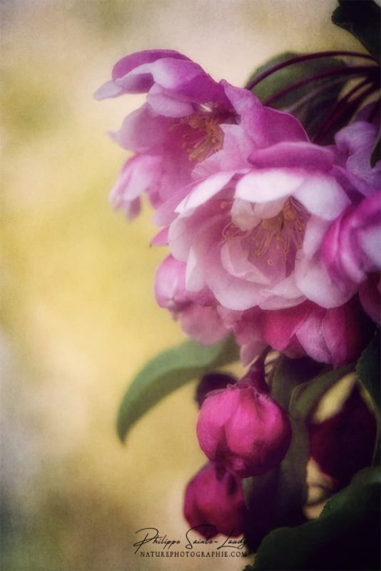 La lumière caresse les fleurs d'un pommier du Japon